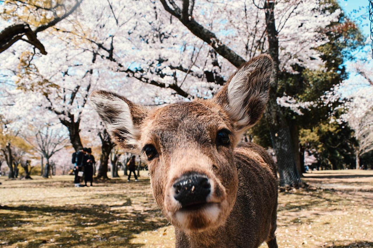 Quels sont les meilleurs endroits à découvrir à Nara lors d'un voyage au Japon ?